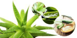 Сок алоэ: полезные свойства, советы и рецепты