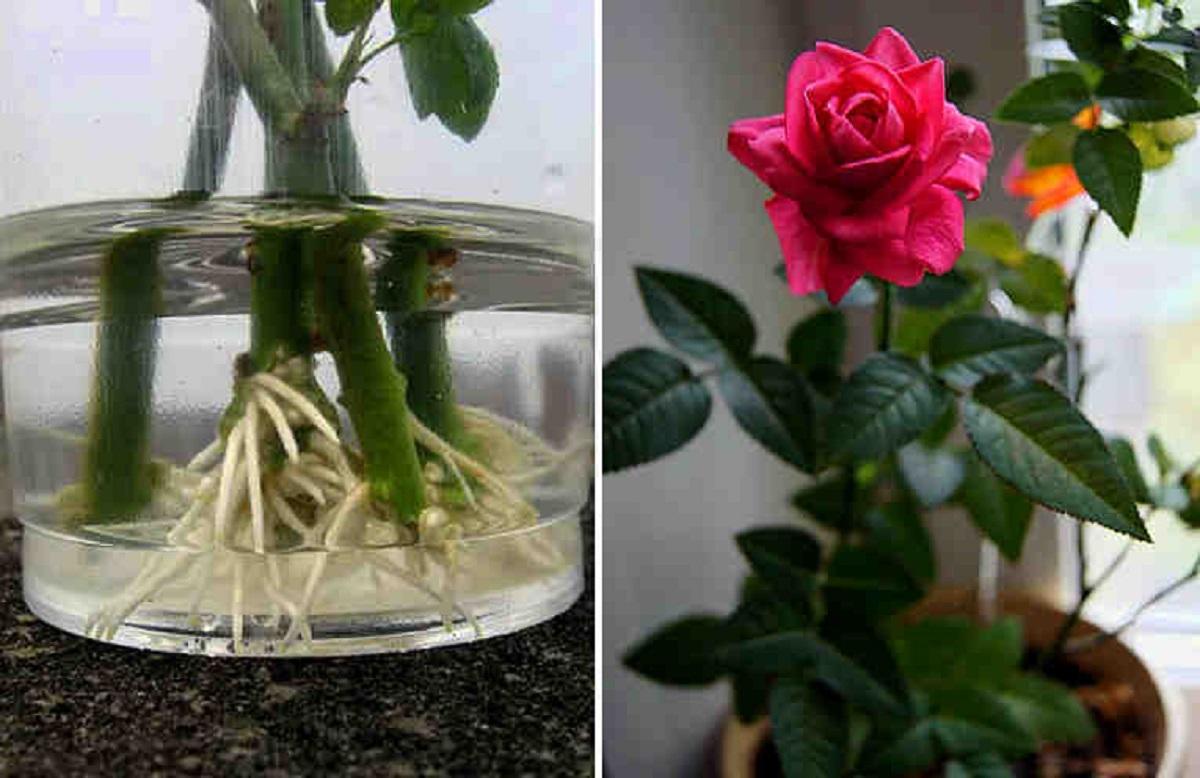 Как вырастить домашнюю розу из черенка